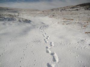 Medvjeđa prtina u dubljem snijegu (foto Marko Matešić )