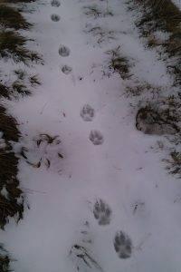 Otisak šape vuka (Foto: M. Modrić)