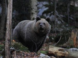Medvjed (foto Dario Štefančić)