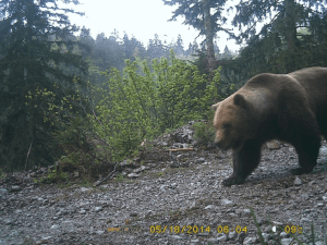 "Odrastao medvjed (foto: Fotozamka JU ""Priroda"""