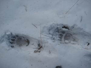 Medvjeđi trag u snijegu (Foto: M. Modrić)