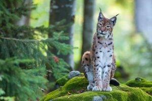 Ris 2 (foto Matej Vranič, LIFE Lynx) - Copy jpg