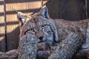 Ris Goru (foto Gabriele Retez, LIFE Lynx)
