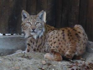 Ris koji stiže u Hrvatsku (foto Mihai Pop, LIFE Lynx)