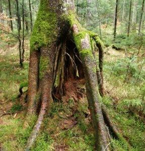 """""""Štakasto"""" korijenje smreke"""