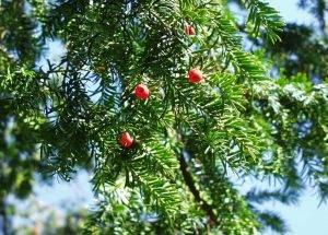02 tisa (Taxus baccata) (2)