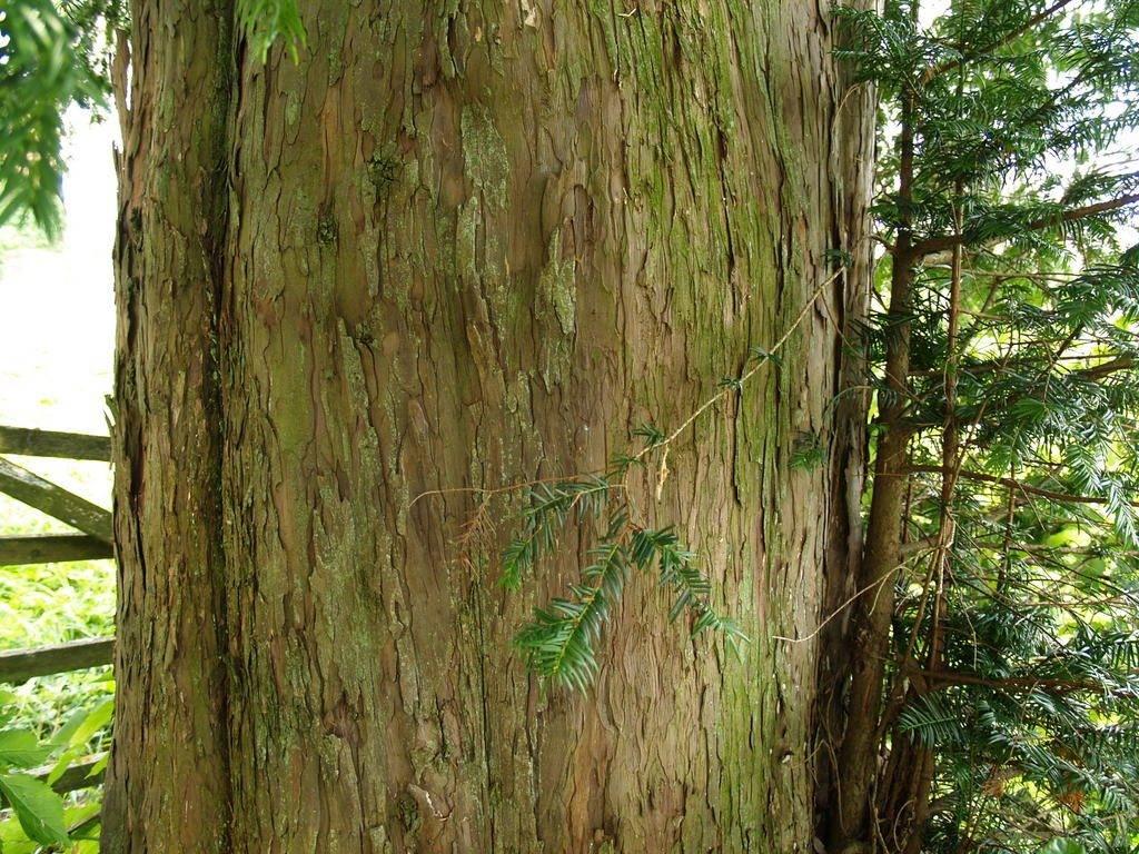 Tisa - rijetko stablo u staništima velikih zvijeri