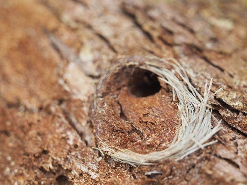 Strizibuba pod korom odumrlog stabla jele