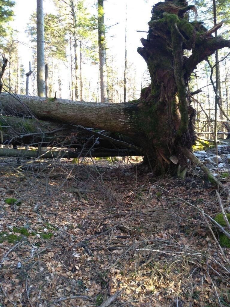 Izvaljeno jelovo stablo poslužilo je risu kako bi plijen podvukao pod deblo i učinio ga manje uočljivim za druge predatore.