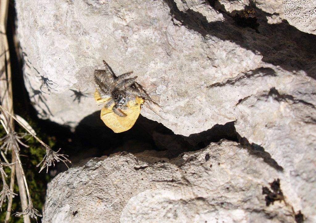 Pauk skočac s lovinom