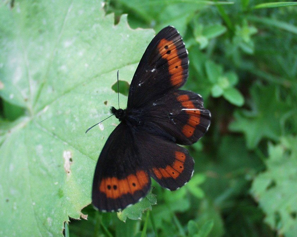 Uz Dan planeta Zemlja - endemični leptiri crnci
