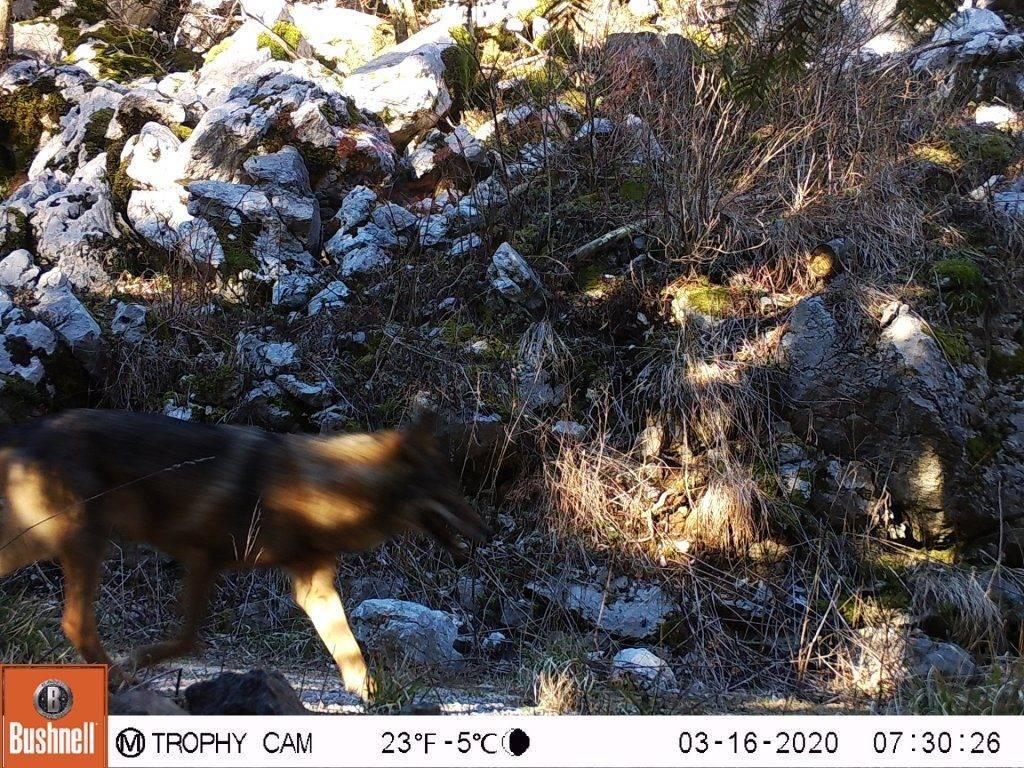 Procjena veličine populacije vuka (Canis lupus) u Hrvatskoj za razdoblje od 01. lipnja 2018. do 01. lipnja 2019. godine