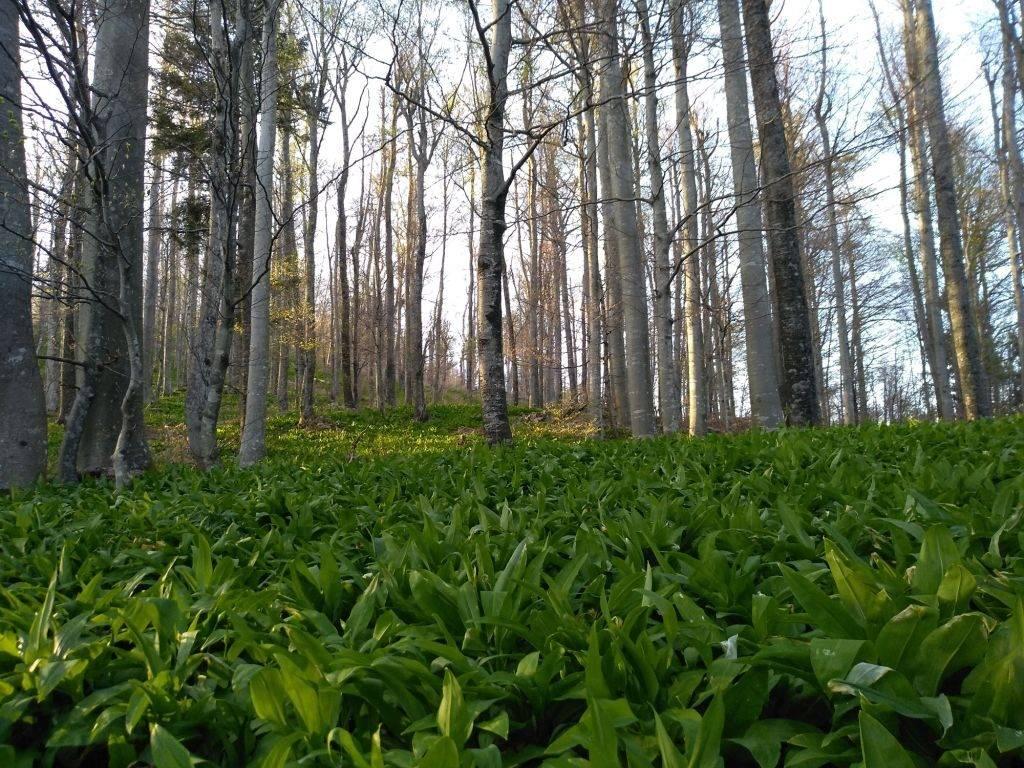 Zeleni tepih medvjeđeg luka.