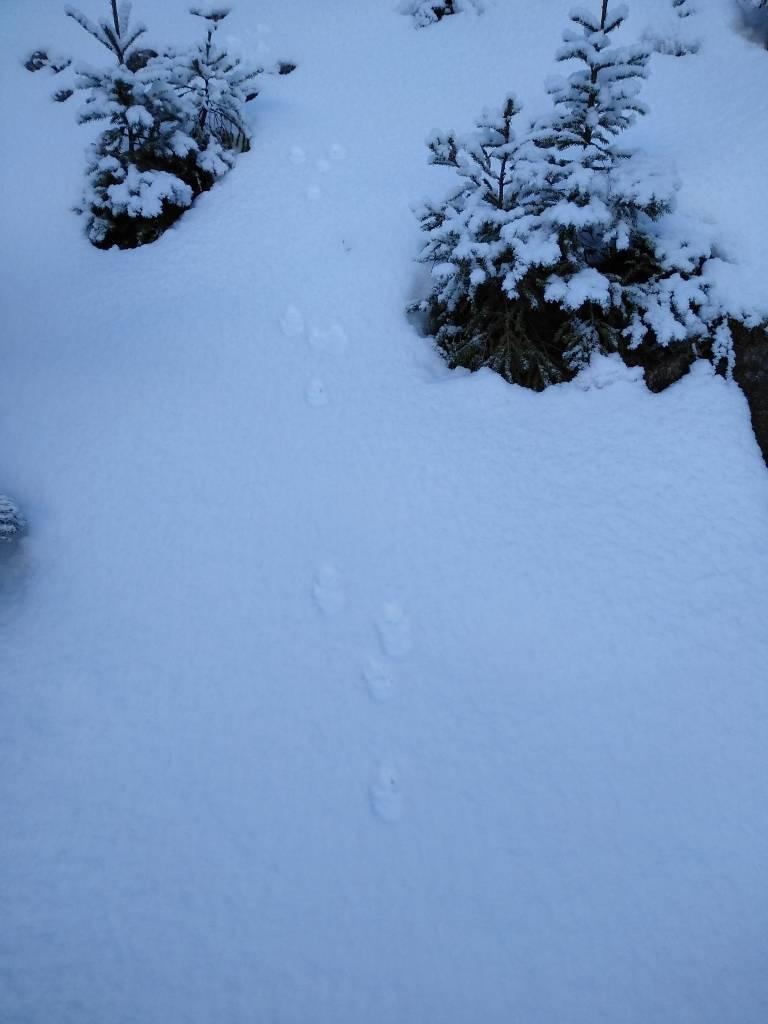 Zečji tragovi u snijegu