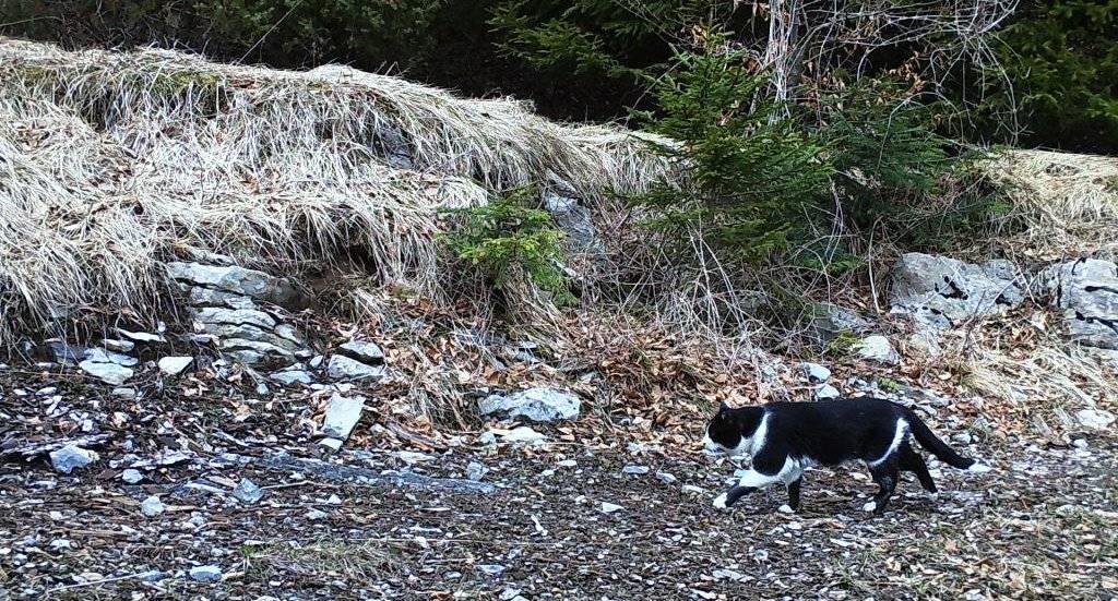 Ris, lisica i domaća mačka